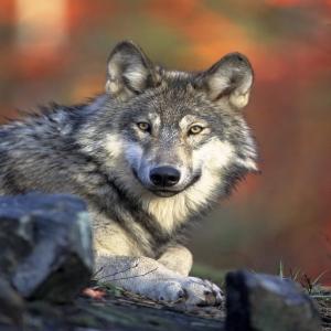 Una sentencia posibilita la <strong>caza </strong>del <strong>lobo </strong>al sur del Duero